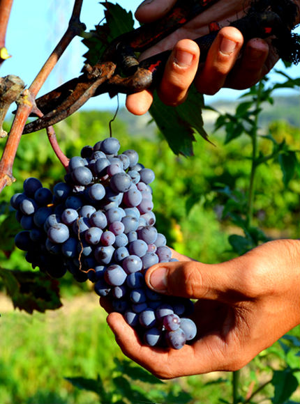 Vendemmia 2016 all'Azienda Vinicola Lamonarca